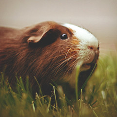 179 | 366 | V (Randomographer) Tags: pet cute grass 50mm guinea pig guineapig cavy rodent furry friend dof adorable whiskers domestic alive 179 lovable 366 caviaporcellus project366