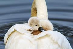 cygnet (Fazer44) Tags: swan wildlife wild young cygnet