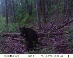 trailcam (arielandrew) Tags: bear woods glenlyon trailcam