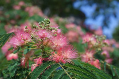 Silk Tree (dtanist) Tags: nyc newyork newyorkcity new york city sony a7 contax zeiss carlzeiss carl planar 45mm brooklyn bay ridge silk tree blossom flower flowers plant albizia