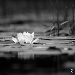 186/366 - Water Lily (sdgiere) Tags: blackandwhite wisconsin square waterlily lily