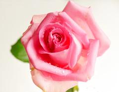 pink rose on white (Elisafox22) Tags: pink 6 white flower macro rose lens petals sony experiment single f35 nex e30mm neutraloverexposed