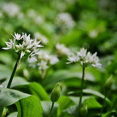 Wild Garlic (CarolynEaton) Tags: wood wild england woodland nikon somerset garlic prior portbury d7000