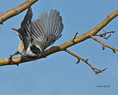 Black-capped Chickadee (colorob) Tags: colorado blackcappedchickadee poecileatricapilla littleton coloradowildlife colorob nikond800e