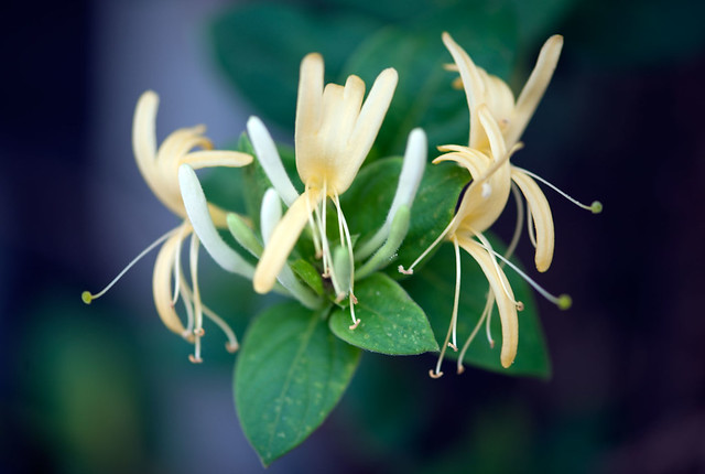 plant flower nature fleur plante honeysuckle chèvrefeuille wonderfulworldofflowers