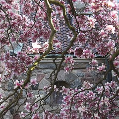 Textures: Magnolias, Stones, Tiles (marylea) Tags: pink flowers spring catholic michigan blossoms annarbor magnolia catholicchurch blooms magnolias stthomasaa stthomastheapostlecatholicchurch