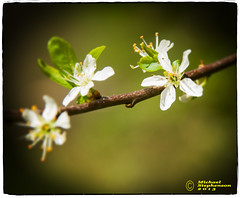 Blooming Petal (mikesteph0) Tags: tree nature woodland scenery natural outdoor foliage leafs flowersplants