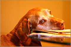 """The old Vizsla-Lady"" (Rondlarg) Tags: morning portrait dog pet reflection eye look animal table relax nose newspaper sunday vizsla hund age 1001nights alter tisch morgen spiegelung auge blick haustier nase sonntag tier zeitung ausruhen dabeisein bepresent 1001nightsmagiccity"