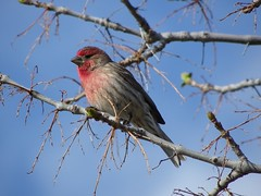 House Finch (KiwiHugger) Tags: housefinch
