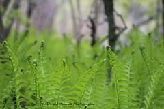 Fougres hante \ Haunted ferns (deplour) Tags: haunted ferns fougres hante