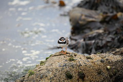 Bird Spotting by Linda Nicholson (P&L Nicholson Photography) Tags: bird ornithology isles shetland plover ringed fetlar