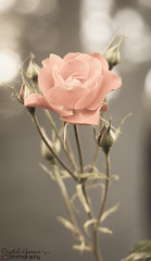 6/7 - Good Morning (OptiMISS_Prime) Tags: morning pink red roses flower green beauty rose oregon sunrise canon portland interesting backyard bokeh rosa 50mm14 pdx tones tone 503 rosebuds cityofroses canonphotography canonrebelt1i