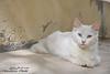 نظرات (Abduarhman khaild - عبدالرحمن خالد) Tags: blue white look cat nikon نظرة d90 قط ازرق نيكون قطة ابيض د90