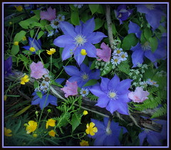 Floral tapestry (edenseekr) Tags: floral clematis buttercups