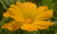 Marigold in the Rain. (mcginley2012) Tags: light orange sunlight flower macro nature sunshine rain yellow nokia droplets raindrops waterdrops marigold n8 gardenflower