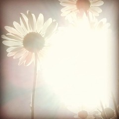 #daisies #sun #overexposed (stupid blue) Tags: android instagram andrography