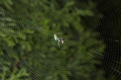 Spider eating series 24 (Richard Ricciardi) Tags: spider eating web spinne araa  araigne ragno timeseries     gagamba    nhn  spidertimeseries
