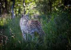 Eurasian Lynx in summer coat
