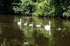 Family In Formation (Ian R. Simpson) Tags: family birds swimming canal formation swans cygnets lancastercanal