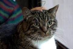 warrior kitty in coconut helm (hexapetala) Tags: cat coconut helm walle