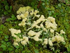 Scrambled Egg Slime [Fuligo septica] (MIKOFOX  Show Your EXIF!) Tags: moss yukon cranberries slime forestfloor fuligoseptica fz35 panasonicfz35 mikofox