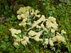 Scrambled Egg Slime [Fuligo septica] (MIKOFOX ⌘ Show Your EXIF!) Tags: moss yukon cranberries slime forestfloor fuligoseptica fz35 panasonicfz35 mikofox