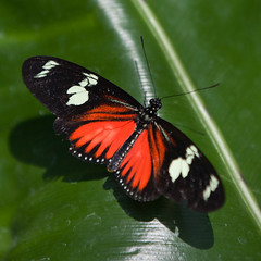Heliconius doris (leehobbi) Tags: orange ontario canada canon butterfly insect niagara
