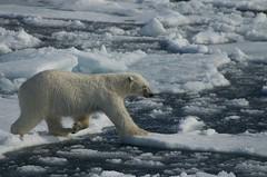 Polar Bear (David Nunn) Tags: ocean bear ice circle north pole svalbard arctic polarbear pack polar spitsbergen ursus arcticcircle spitzbergen ursusmaritimus maritimus