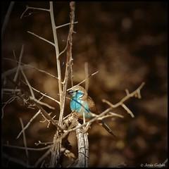 Waxbill Azul (Uraeginthus angolensis). Mahango Game Reserve (Jesús Gabán) Tags: namibia mahango uraeginthusangolensis bluebreastedcordonbleu jesusgaban waxbillazul bluewasbill