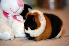 Fluffy posing... (Scott --) Tags: guinea pig fluffy sigma 5d