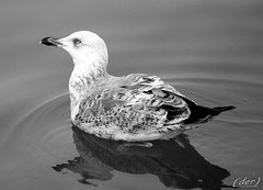 in b&w (erman_53fotoclik) Tags: bw fauna canon eos acqua bianco nero gabbiano penne uccello riflesso destro ermanno 500d profilo becco nuotare piume erman53fotoclik