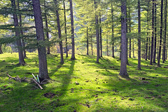 (Mimadeo) Tags: trees sunset shadow summer sunlight green grass backlight forest sunrise pines backlit trunks larch sunray sunbeams gorbea treewood