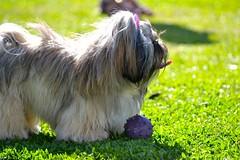 Quer Brincar? (Musashinm) Tags: cachorro bola