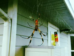 so spiderific (DiscoverPhotoz) Tags: spider spiders web arachnid spiderweb insects bugs creepy huge eightlegs 8legs flickrandroidapp:filter=toucan