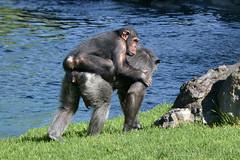 Valencia - Bioparc (Zeldenrust) Tags: valencia fauna zoo mono town ciudad stadt ape zoológico tierpark ville stad aap animalpark singe affe dierentuin naturephotography dierenpark faune schimpanse pantroglodytes chimpansee menschenaffe chimpanzé chimpancé natuurfotografie mensaap jardinzoologique zeldenrust bioparc anthropoidape commonchimpanzee robustchimpanzee parcanimalier ximpanzé parquedeanimales westernchimpanzee vanzeldenrust hendrikvanzeldenrust thecommonchimpanzee maskedchimpanzee singeanthropoïde simioantropomorfo