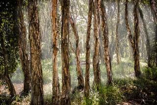 forest landscape australia brisbane swamp queensland paperbark melaleucaalternifolia nudgeewaterhole creativemindsphotography