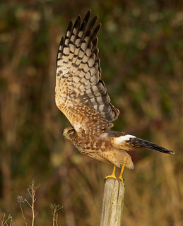 Northern harrier, female