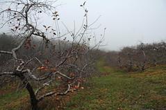 DSC_0043 (Putneypics) Tags: november autumn apple vermont orchard putney putneypics