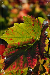2013-10-26 - Feuille de vigne 01 (aaoouumm) Tags: autumn automne vigne feuille
