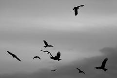 To the Sacred Route ( Ogawasan) Tags: bw cloud milan bird nature monochrome japan grey freedom fly asia power  asie  japon giappone mystic japani japane amida neutral  siapan kobodaishi japonya yaponiya jaapan japonsko        japosk japaska  the14thsacredroute