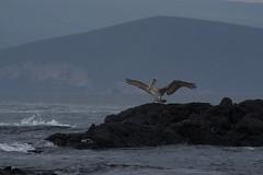 "_DSC6517 ""Brown Pelican"" ""Pelicano Cafe""  and the  ""Galapagos Fernandina Punta Espinoza area shoreline"" (ChanHawkins) Tags: area punta april 12 fernandina fri espinoza ""brown pm"" cafe"" pelican"" ""galapagos shoreline"" ""pelicano"