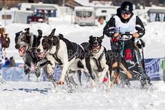 Schlittenhunderennen Inzell 2014 (www.bokehlicious.nl) Tags: toon dm deutsche 2014 inzell meisterschaft schlittenhunde schlittenhunderennen sportfotografie sleehond sportfotograaf bokehliciousnl wintsport dompeling