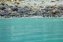 _MG_4381a (markbyzewski) Tags: alaska ugly brownbear grizzlybear glacierbaynationalpark