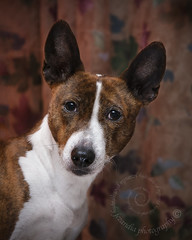 "2.12b Raisin, ""Godzilla with a tiara"" (jezandia) Tags: dog basenji raisin ldlportraits 12monthsfordogs14"