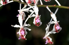 Vanda lamellata (blumenbiene) Tags: flowers plant orchid flower garden botanical orchids pflanze leipzig vanda orchidee blüte garten blüten boga orchideen botanischer lamellata orchideenblüten orchideenblüte