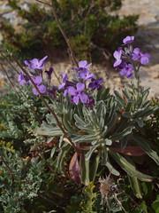 Matthiola incana subsp. melitensis Brullo, Lanfr. , Pavone & Ronsisvalle (Peter M Greenwood) Tags: melitensis subsp matthiolaincana matthiola incana matthiolaincanasubspmelitensis