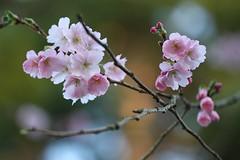 Spring bloom (Mah Nava) Tags: flower garden cherry spring bloom cherryblossoms blume blte garten frhling  blten   kirschbaum  kirschblten zierkirsche springbloom prunussubhirtella frhlingsblte