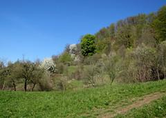 tavaszi rt / spring meadow (debreczeniemoke) Tags: plant tree forest spring day meadow clear fa tavasz floweringtrees nvny erd rt virgzfk canonpowershotsx20is