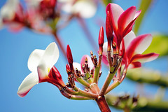 Big Island Plumeria [explored] (heartinhawaii) Tags: pink flowers nature hawaii flora plumeria bluesky tropical frangipani bigisland tropicalflowers hawaiianflowers hawaiiisland pinkplumeria hawaiianplumeria nikond3100 bigislandinfebruary hawaiiinfebruary