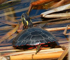 Turtle Tail. (praja38) Tags: life wild sun lake ontario canada nature wet water animal reeds pond head turtle reptile wildlife tail shell canadian rest marsh resting capricorn oshawa carapace sunning coldblooded paintedturtle midlandpaintedturtle secondmarsh